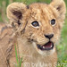 Little Simba in the Masai Mara