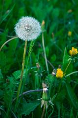 Mniszek lekarski (el grot) Tags: flowers spring dandelion kwiaty wiosna mniszeklekarski