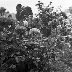 foma_stand_1 (yattaran72) Tags: roses stand spring campania may pride mat 124g 100 development yashica salerno maggio 2012 foma salid r09