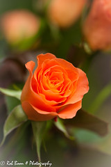 20130518_1033_Roos (Rob_Boon) Tags: plant flower macro rose roos wijlre