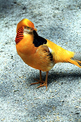 (-Julia_) Tags: orange black bird beautiful yellow canon photography eos nice stripes photograph staring vogel 1100d