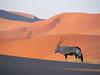 孤單的大羚羊。 (simonpkcheung) Tags: 範例 野生生物 橫印