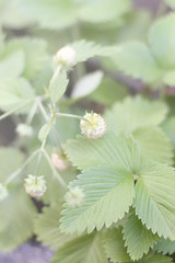 White strawberries in the green (arhimie) Tags: white green spring strawberries mygearandme