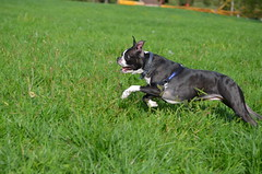 Dogs @IMA, 09-30-2012 057 (Hazel the Boston Terrier) Tags: boston terrier hazel indianapolismuseumofart