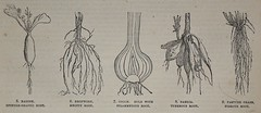 Plant Root Types - Popular Educator 1862 (AndyBrii) Tags: old london woodcuts education antique books knowledge 1862 rare engravings encyclopaedia populareducator casselpettergalpin