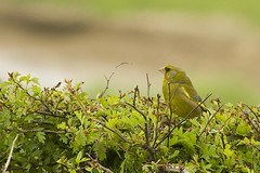Greenfinch (Gareth Christian) Tags: bird nature nikon wildlife finches eastsussex greenfinch carduelischloris fringillidae cuckmerehaven 55300mm d7000 afsnikkor55300mm14556ged