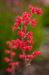 coral bells (Sam Scholes) Tags: flowers red plant flower nature digital garden utah nikon colorful bright coralbells d300 westjordan heucherasanguinea conservationgardenpark jordanvalleyconservationgardenpark