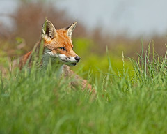 Red Fox (Stuart G Wright Photography) Tags: red wildlife cannock fox chase staffs wwwstuartgwrightcom