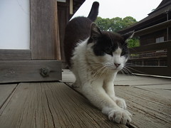 Today's cat (06/11/2013) (patrusche9672) Tags: cats cute japan cat neko   neco  photocat catphoto photocats nekophoto catsphoto