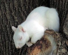 Albino Squirrel Sleeping In The Tree (Flickr Blog) (rabidscottsman) Tags: sleeping wild white tree cute minnesota animal fur rodent furry nikon squirrel sleep wildlife alcohol squareformat albino albinosquirrel coolpix asleep yabbadabbadoo albinoanimal p520 albinoism scotthendersonphotography nopigment nikonp520