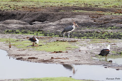 African Fish Eagle Breakfast at Chobe Riverfront-Haliaeetus vocifer7 (Zsuzsa Por) Tags: africa animal wildlife safari botswana chobe animalplanet canonistas canoneos7d choberiverfront
