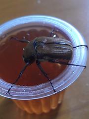 20130615-06 (pumanhung) Tags: 昆蟲 2013 飼養