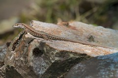 Common Wall Lizard (Podarcis muralis) (piazzi1969) Tags: italy nature wildlife trentino reptiles herps valsugana roncegno