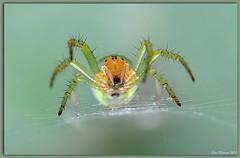 Cucumber green spider / Komkommerspin / Araniella cucurbitina