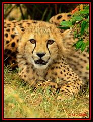 CHEETAH CUB (Acinonyx jubatus).....MASAI MARA....OCT 2012. (M Z Malik) Tags: africa nikon kenya wildlife ngc safari cheetah masaimara 70200mmf28 keekoroklodge flickrbigcats exoticafricancats d800e exoticafricanwildlife