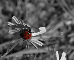 Vai de xoanias 2 (Piruletadecafe) Tags: cutout rojo daisy ladybug margarita mariquita xoania olympusepl1