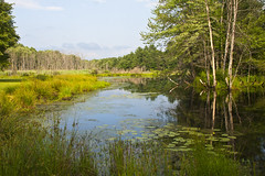 swamp trees