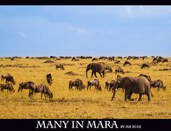 Many in Mara (Marcio Ruiz) Tags: africa elephant kenya mara massai masai maasai gnus elefante masaimara wildbeast marcioruiz quênia mruiz mrruiz
