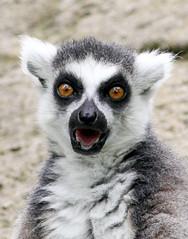 OMG Lemur