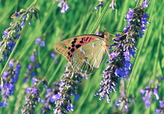 Mariposa Fabriciana Adippe (Honevo) Tags: butterfly photo spain mariposa biodiversity honevo bioheritage
