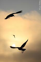 In Volo Verso il Sole (Luca Bobbiesi) Tags: sunset lake bird silhouette lago seagull varese gabbiani gavirate canonef100400mmf4556lisusm canoneos7d