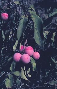 Photo - Wild Plum