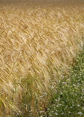 The Edge (Adam Swaine) Tags: county uk england english beautiful barley rural canon landscape photography countryside britain norfolk east counties naturelovers 24105mm swaine 2013 thisphotorocks englishlandscapes adamswaine mostbeautifulpicturesmbppictures wwwadamswainecouk