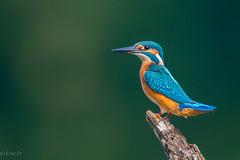 She is a perfect Lady (eric-d at gmx.net) Tags: bird kingfisher alcedo atthis eisvogel