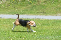Iso piscivore ? (raphael.labourel) Tags: dog chien pets france beagle earth iso monde animaux poisson pyrnes payolle isotop