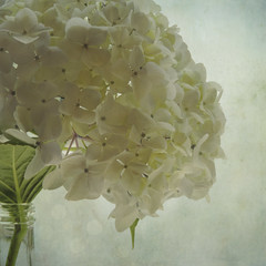White Hydrangea (sally banfill) Tags: soft pastel squareformat dreamy hydrangea memoriesbook texturedsquare sallybanfill