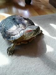 IMG_1824 (arakalada) Tags: turtle   redearturle