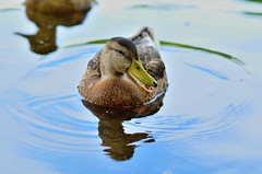 Duck Portrait. Testing my new 85mm 1.8G (DigitalCanvas72) Tags: nature water colors animal closeup duck dof bokeh saturation shallow freshwater femalemallard d7000 nikond7000 85mm18g nikon85mm18g nikkor85mm18g primelensnikon