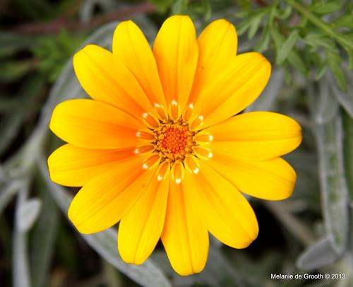 Yellow Daisy Type Flower