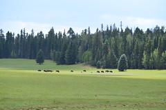 DSC_3433 (georgerocheleau) Tags: arizona animals bison northrim grandcanyonnationalpark kaibabplateau