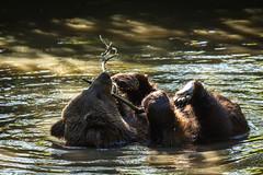 Braunbär 2 (vossemer) Tags: deutschland tiere hamburg natur orte städte deu bären stellingen hagenbeckstierpark länder freieundhansestadt hamburgfreieundhansestadt