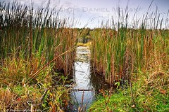 Birdsong Reeds at Dusk (DTA_7956) (masinka) Tags: autumn fall nature water reeds evening pond buffalo dusk gap birdsong swamp wetlands orchardpark buffaloniagara