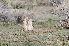 Little moma is due any day now... (dcstep) Tags: urban usa dog colorado aurora prairiedog prairie sanctuary allrightsreserved cherrycreekstatepark dxoopticspro91 copyright2014davidcstephens z5a7520dxo