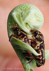 20121001 - 42 (Henry Aldridge) Tags: singapore insects beetles arthropods coleoptera scarabaeidae cetoniinae flowerchafer taenioderini henryaldridge