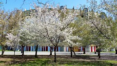 New York State Pavilion In The Spring (Joe Shlabotnik) Tags: cameraphone cherry spring blossoms flushingmeadows queens cherryblossoms faved 2015 twoviewsonefave galaxys5 april2015