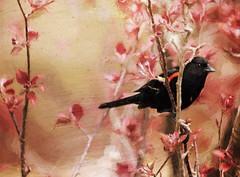 birdsong (anniedaisybaby) Tags: painterly tree texture textura spring backyard branches blossoms manitoba buds blackbird interlake photopainting redwingedblackbird agelaiusphoeniceus thanksto goldencrotalo texturaextra thunderchildcrabtree