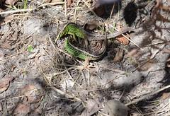 Green Gladiators - 1 (willjatkins) Tags: britishwildlife lacertaagilis sandlizard ukwildlife britishreptiles dorsetwildlife britishlizards uklizards ukreptiles heathlandwildlife dorsetlizards heathlandreptiles dorsetsandlizards