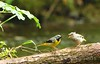 VWS2999 Grey Wagtail with chick (Vee living life to the full) Tags: birds yellow wales may chick parent british wagtail 2015 nikond300 shootaboot
