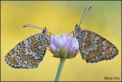Melithaea phoebe (alfvet) Tags: macro primavera nature ngc butterflies natura npc farfalle greatphotographers parcodelticino