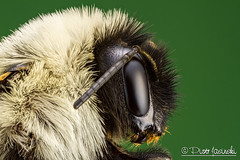 Bumble Bee (Karlgoro1) Tags: macro eye closeup canon bug insect eos photo eyes focus stack bee 7d bumble f28 stacker mpe 65mm greatphotographers zerene specinsect macrolife