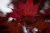 flowered maple (wasp7ty) Tags: maple flower acer acerpalmatum palmatum taxonomy:kingdom=plantae plantae taxonomy:superphylum=tracheophyta tracheophyta taxonomy:phylum=magnoliophyta magnoliophyta taxonomy:class=magnoliopsida magnoliopsida taxonomy:order=sapindales sapindales taxonomy:family=sapindaceae sapindaceae taxonomy:genus=acer taxonomy:species=palmatum taxonomy:binomial=acerpalmatum イロハモミジ japanesemaple 雞爪槭 taxonomy:common=イロハモミジ taxonomy:common=japanesemaple taxonomy:common=雞爪槭