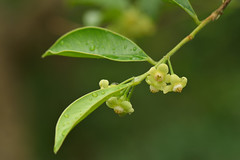 Aquilaria sinensis  Thymelaeaceae (Cheng Wenda) Tags: sinensis thymelaeaceae aquilaria