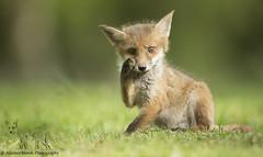 Fox Cub Scratching (Alastair Marsh Photography) Tags: animal animals fur mammal wildlife fox scratch mammals foxes britishwildlife redfox foxcub smallmammal smallmammals babymammal britishmammal britishmammals britishanimals britishanimal