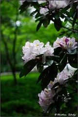 More Rhododendron bokeh (ChristianRock) Tags: flowers nature 50mm pentax manual ricoh manualfocus 50mmf14 rikenon ricoh50mmf14 kmount rikenon50mmf14 k20d pentaxk20d rikenonxr50mmf14