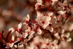 Plum blossoms (Meastropulation) Tags: blossom blossoms plum plums plumblossoms pflaume pflaumen blumblossom pflaumenblte pflaumenbaum pflaumenblten