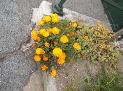 180 (en-ri) Tags: verde fujifilm arancione fiorellini piantina